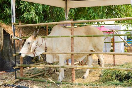 Kuh-F�tterung in der Farm Lizenzfreie Bilder