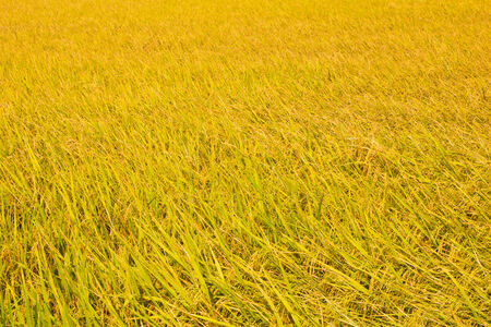 rural countryside: Paddy fields in rural countryside ,thailand Stock Photo