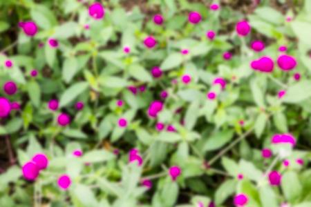 globosa: Gomphrena globosa a blurry background