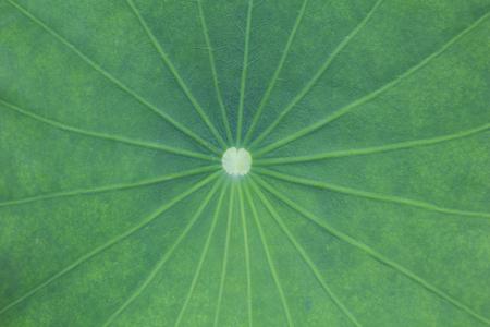 green lotus leaf background Stock Photo