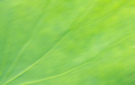 green lotus leaf background Banque d'images