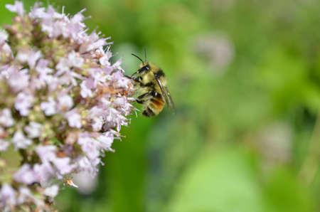 Macro Bee Stockfoto