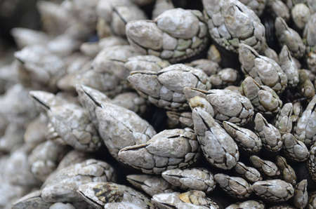 barnacles: Balani lunghi