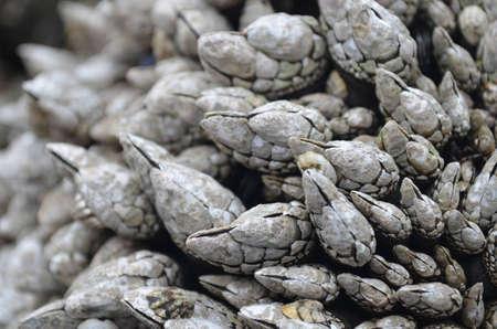 long: Long barnacles