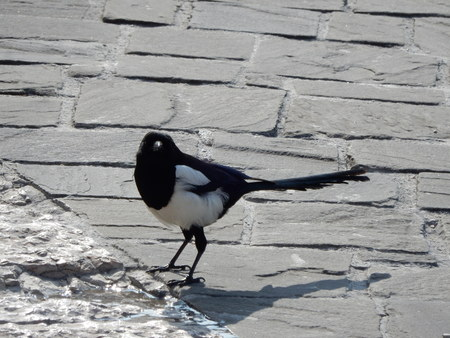 magpie: magpie in Gualdo Tadino, Umbria, Italy Stock Photo