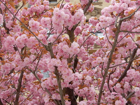 Japanese cherry trees in court gardens, Wuerzburg Residence, Franconia, Bavaria, Germany