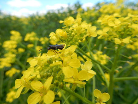 Insect in rapeseed fields in Waldbrunn near Wurzburg, Franconia, Bavaria, Germany