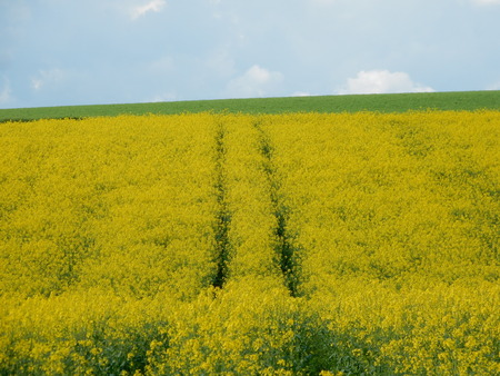 Rapeseed fields in Waldbrunn near Wurzburg, Franconia, Bavaria, Germany