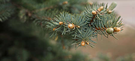 Green branches of spruce with needles and cones close-up. Natural background for Christmas and new year. Space for text 版權商用圖片