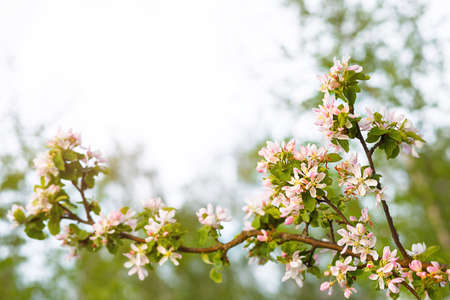 Apple branches bloom with pink and white petals. Spring, apple orchard, the beginning of a new life. Ecology, naturalness, wedding, romance, love