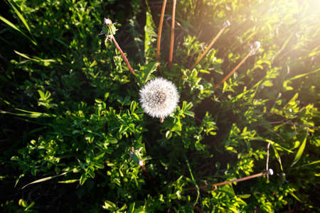 A dandelion in the grass is illuminated by a ray of sunlight. Summer, spring, ecology, naturalness, authenticity, simple joys Archivio Fotografico