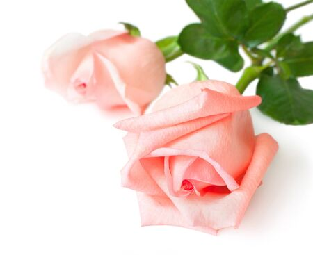 The two roses are isolated on a white background photo