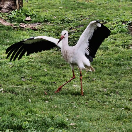 A view of a White Stork at Martin Mere Nature Reserve Banque d'images - 131430361