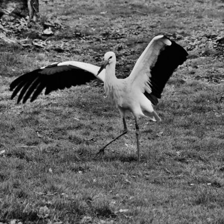A view of a White Stork at Martin Mere Nature Reserve Banque d'images - 131430363
