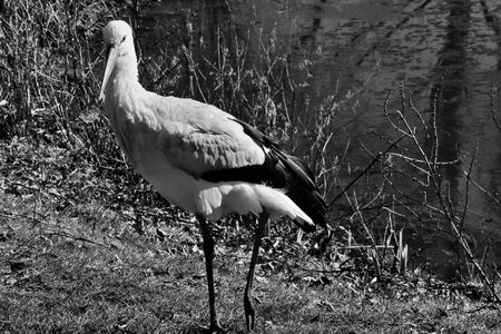 A view of a White Stork at Martin Mere Nature Reserve Banque d'images - 131430378