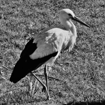 A view of a White Stork Banque d'images - 131430415