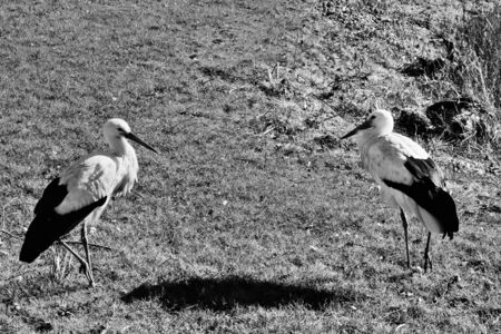 A view of a White Stork at Martin Mere Nature Reserve Banque d'images - 131430404