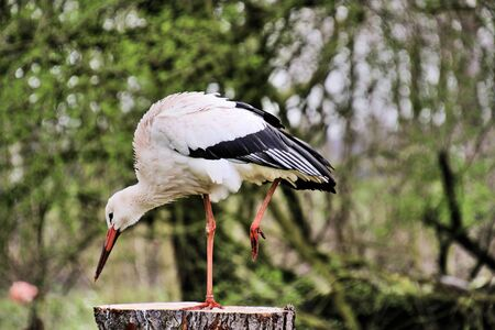 A view of a White Stork at Martin Mere Nature Reserve Banque d'images - 131430439