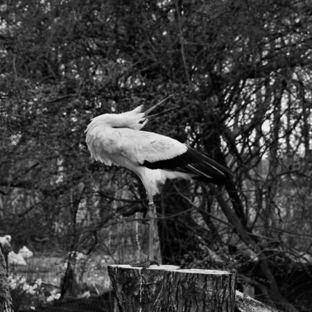A view of a White Stork at Martin Mere Nature Reserve Banque d'images - 131430444