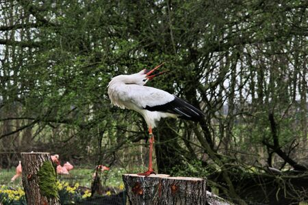 A view of a White Stork at Martin Mere Nature Reserve Banque d'images - 131430650