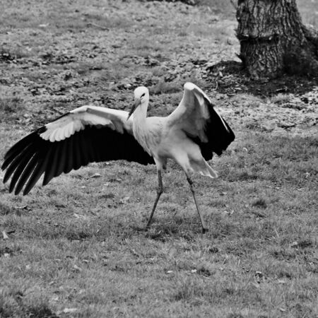 A view of a White Stork at Martin Mere Nature Reserve Banque d'images - 131430651
