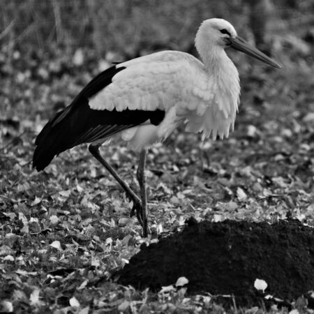 A view of a White Stork at Martin Mere Nature Reserve Banque d'images - 131430665