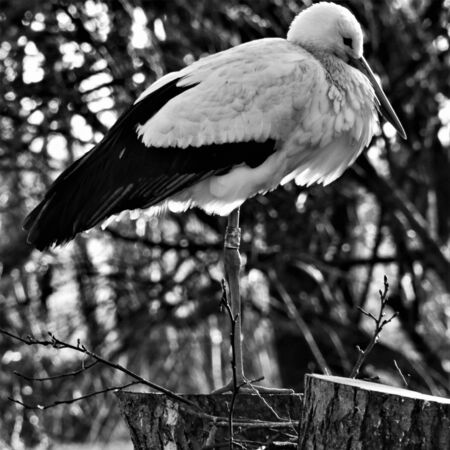 A view of a White Stork at Martin Mere Nature Reserve Banque d'images - 131430669