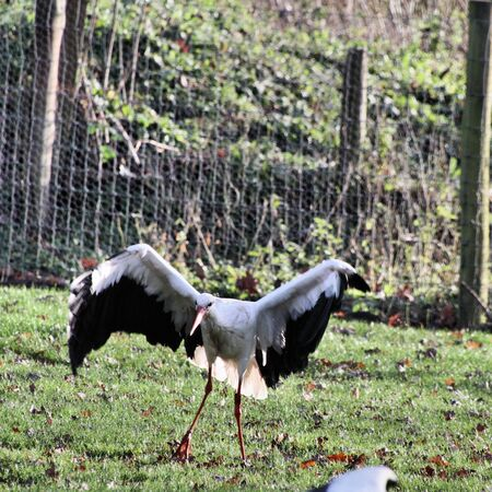 A view of a White Stork at Martin Mere Nature Reserve Banque d'images - 131430678