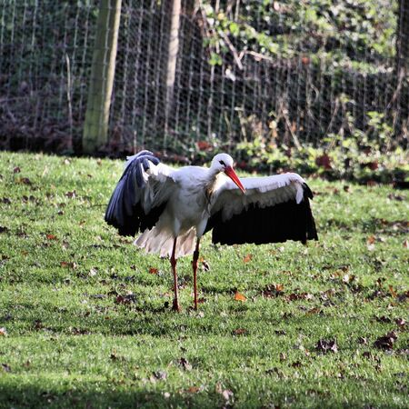 A view of a White Stork at Martin Mere Nature Reserve Banque d'images - 131431386