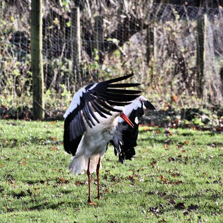 A view of a White Stork at Martin Mere Nature Reserve Banque d'images - 131431390