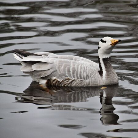 A view of a Bar Headed Goose in London