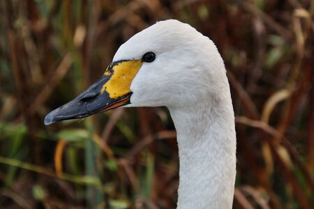 A view of a Bewick Swan at Martin Mere Nature Reserve Imagens