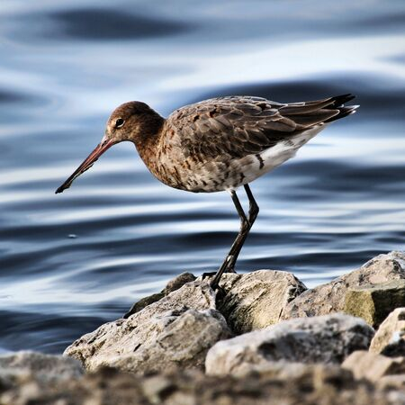 A view of a Black Tailed Godwit Stockfoto