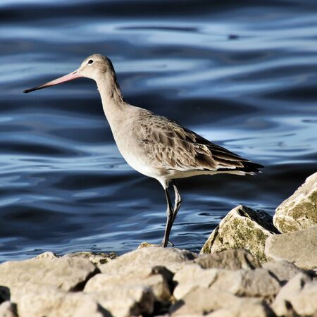 A view of a Black Tailed Godwit at Martin Mere Nature Reserve