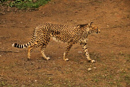 A view of a Cheetah in the wild