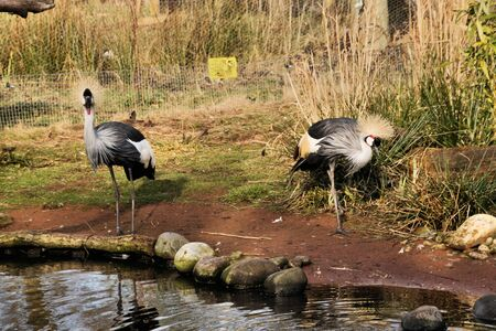 A view of a Crowned Crane at Martin Mere nature Reserve Imagens
