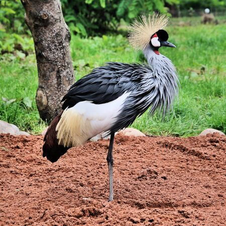 A view of a Crowned Crane at Martin Mere nature Reserve