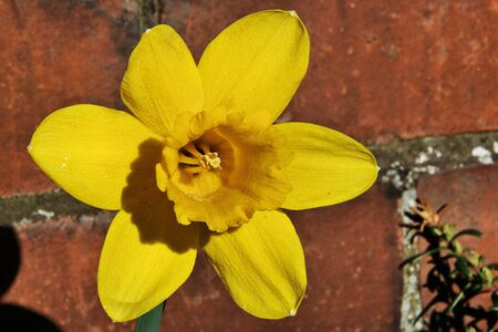 A view of a Daffodil in my garden