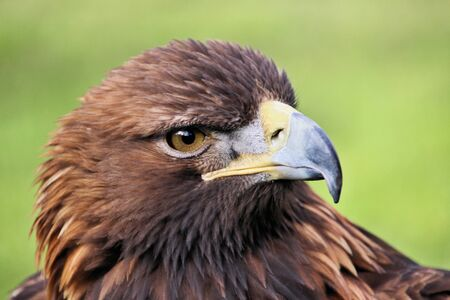 A close up of a Golden Eagle