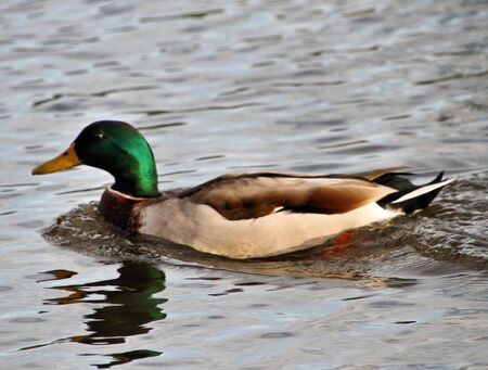 A view of a Mallard Duck at Brown Moss Nature Reserve in Whitchurch