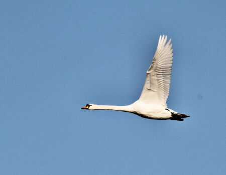 A view of a Mute Swan flying at Brown Moss Nature Reserve in Whitchurch 版權商用圖片