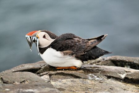 A view of a Puffin with Sand Eels on Farne Islands in the UK