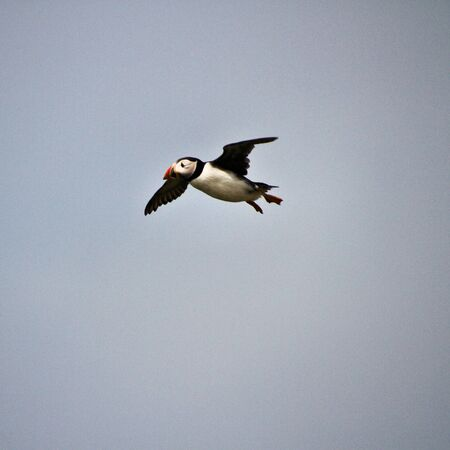 A view of a Puffin flying over Farne Islands in the UK