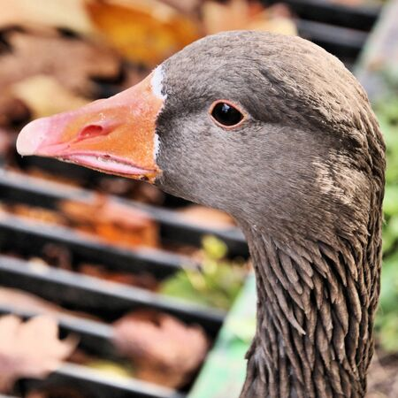 A view of a Greylag Goose