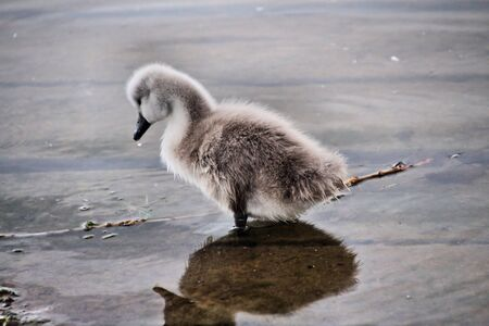 A view of a Mute Swan Cygnet at Nantwich