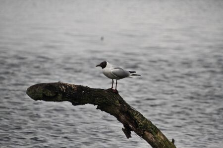 A view of a Black Headed Gull at Martin Mere Nature Reserve