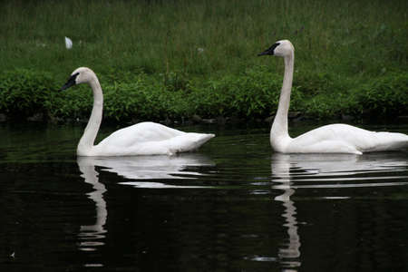 A view of a Trumpeter Swan Stock Photo