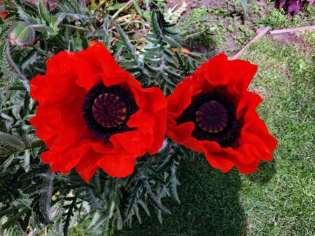 A view of a Poppy from my Garden 版權商用圖片