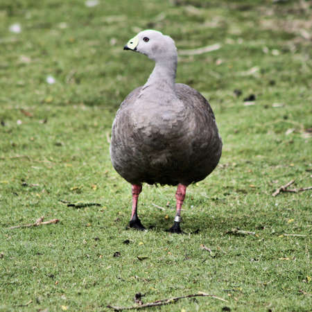 A view of a Cape Barren Goose