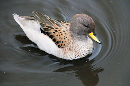 A view of a Duck on the water at Martin Mere Nature Reserve